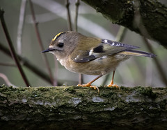 Goldcrest - Britain's smallest bird (Steve D'Cruze) Tags: goldcrest regulus nikon d500 sigma 150600mm sefton merseyside