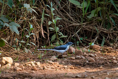 Mountain Wagtail, Magoebaskloof, Limpopo, Dec 2018 (roelofvdb) Tags: 2019 712 date december limpopo magoebaskloof mountainwagtail place southernafricanbirds wagtail wagtailmountain year
