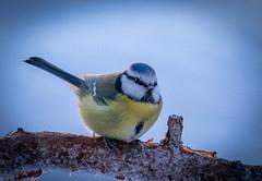 Ready to Fly (MrBlackSun) Tags: tit forest winter finland frozen frozenforest nikon d850 kuusamo birds bird birdlover kuusamonaturephotography nature photography naturephotography lapland