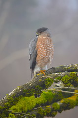 Cooper's Hawk (Neal D) Tags: bc surrey crescentbeach bird blackiespit hawk coopershawk accipitercooperii