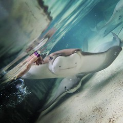 IMG_20181215_161501_258 (cy-photography) Tags: ray manta seaworld sea pet petting underwater water marine hand touch nails themepark park