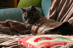 Argent in the Late Afternoon Sun (sjrankin) Tags: 29march2019 edited animal cat zoom livingroom kitahiroshima hokkaido japan blurry tunic argent pillow couch blankets sunlight afternoon