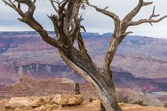 Growing Old (Harry2010) Tags: grandcanyon nationalpark canyon tree coloradoriver