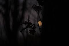 Caught (Daymon55) Tags: sunset dark sky moon colour outside trees nikon leaves