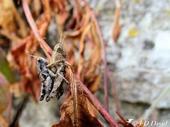 Oh... tu peux pas aller à pied 😉 (Jean-Daniel David) Tags: nature insecte insectevolant herbe animal closeup grosplan criquet tige bokeh duo accouplement lavalsaintroman languedocroussillon france gard occitanie