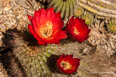Cactus Flower (Peter.Stokes) Tags: australia australian cactus colour colourphotography countryside flora flower flowersplants garden landscape landscapes native nature photo photography trees cactuscountry strathmerton victoria cactusflower