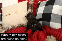 Black Doll Face Kittens (dollfacepersiankittens.com) Tags: kittens twins cats kittensofinstagram kittensofig catsofgoogle catsofinstagram pets petsgram cat lovers black persian for sale cute pictures bestcatpictures kitten ilovecats