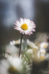 103/365 - Daisy (Forty-9) Tags: canon eos6d eflens ef100mmf28lmacroisusm lightroom tomoskay forty9 project365 365 2019 3652019 project3652019 day103 103365 13thapril2019 13042019 photoaday april saturday macro flower daisy