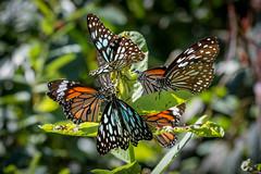 Papillons au Hong Kong Park (Seb & Jen) Tags: hongkong asia asie park parc papillon butterfly island