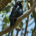 Red-winged Starling - Kerio Valley - Kenya CD5A7390