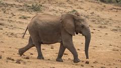 DSC08814 (Paddy-NX) Tags: 2019 20190109 addoelephantnationalpark africa elephant sony sonya77ii sonyalpha sonyalphaa77ii sonysal70300g southafrica wildlife