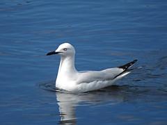 Black-billed Gull (tedell) Tags: blackbilled gull mangere wastewater treatment plant puketutu canal manukau city county auckland new zealand12 december 2018 bird