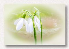 snowdrops in the valley :-) (franzisko hauser) Tags: flower snowdrops art season spring winter sonyalpha7 nature framed white innosence