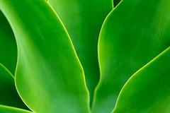 Luminous (Rushay) Tags: backgrounds design green plant pattern luminousgreen grahamstown southafrica