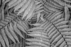 Fern Leaves - Black & White- (JayDeWinne) Tags: green fern leaves patterns colours leaf nature flora plant forest nopeople backgrounds botany beautyinnature vector abstract lushfoliage branchplantpart frond closeup freshness depth selectivefocus naturalpattern