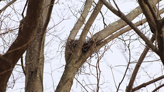 Empty Nest (blazer8696) Tags: 2019 brookfield ct connecticut ecw obtusehill t2019 usa unitedstates nest big bird birds large bwha butplt raptor