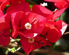 Bougainvillae'a  / Bougainvill'ea  / Papierblom /  Bougainvillea (Pixi2011) Tags: flowers flowersoftrees nature southafrica africa