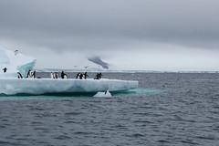 IMG_3467 (y.awanohara) Tags: adelie adeliepenguins penguins antarctica antarcticpeninsula wildlife january2019 icebergs ice icefloes