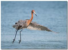 Reddish Egret (Betty Vlasiu) Tags: reddish egret egretta rufescens bird nature wildlife florida