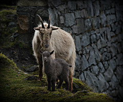 Goat and kid (PentlandPirate of the North) Tags: welsh mountain goat kid baby castelltrefor northwales trefor