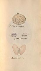 n38_w1150 (BioDivLibrary) Tags: greatbritain mollusks museumsvictoria bhl:page=57640209 dc:identifier=httpsbiodiversitylibraryorgpage57640209 conchologicaldictionary conchology shells britishisles britishislands williamturton british