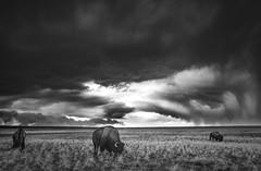 Bison Storm1 (1 of 1) (Jami Bollschweiler Photography) Tags: bison buffalo bull storm utah wildlife photography