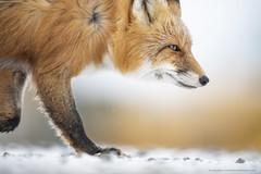The Vixen (Khurram Khan...) Tags: redfox wildlife wildlifephotography wild wwwkhurramkhanphotocom winter alaska iamnikon ilovenature ilovewildlife