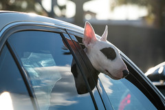 Spot Rides Sunset Boulevard - West Hollywood, CA (ChrisGoldNY) Tags: chrisgoldphoto chrisgoldberg sonyalpha sonya7rii sonyimages licensing forsale bullterrier dogs animals pets funny humor cars windows reflections ears sunsetblvd sunsetboulevard losangeles la laist angeleno california californian