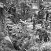 Papaya Tress growing in the Jungle