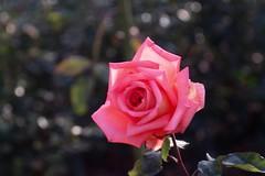 Victor Borge      KINN Paris  Anastigmat   F. 105   1 ; 4,5 (情事針寸II) Tags: flowerscoloronly クローズアップ 自然 花 薔薇園 薔薇 triplet oldlens nature closeup bokeh fleur flower rosegarden rose victorborge kasteelcoloma kinnparisanastigmatf105145