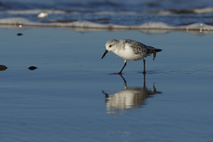 K32P0216c Sanderling, Titchwell Beach, November 2018 (bobchappell55) Tags: titchwell norfolk wild bird wildlife nature sanderling beach wader calidrisalba
