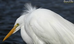 "My hairstyle is called ""I tried"". (Shannon Rose O'Shea) Tags: shannonroseoshea shannonosheawildlifephotography shannonoshea shannon greategret egret bird beak yelloweye feathers wings white profile closeup close water ardeaalba alligatorbreedingmarshandwadingbirdrookery gatorland orlando florida gatorlandbirdrookery rookery nature wildlife waterfowl outdoors outdoor outside colorful colourful flickr wwwflickrcomphotosshannonroseoshea smugmug art photo photography photograph wild wildlifephotography wildlifephotographer wildlifephotograph camera canon canoneos80d canon80d canon100400mm14556lisiiusm eos80d eos 80d canon80d100400mmusmii 2019 breedingplumage plumage plumes lores femalephotographer girlphotographer womanphotographer shootlikeagirl shootwithacamera throughherlens birdphotographer naturephotographer"