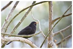 Had to go to Morocco to catch the Swedish national bird in picture :) (wirehn) Tags: natureinfocusgroup bird swedishnationalbird tree turdusmerula koltrast black