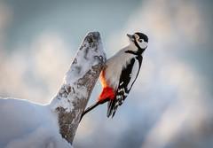 Greater spotted Woodpecker (MrBlackSun) Tags: finland arctic snow birds birdlovers bird birdwatchers nikon d850 kuusamonaturephotography kuusamo oulanka