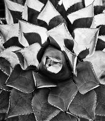 Serrated Shadows (FotoGrazio) Tags: monochromatic sharp nature fotograzio highcontrast botany photoeffect california plant mothernature macro monochrome waynegrazio bw photomanipulation thorns natureasart usa phototoart needles fineart texture theartofnature existinglight succulent contrast closeup beautiful waynesgrazio pattern lovely botanical desertplants highlightsandshadows waynestevengrazio blackandwhite cactus sandiego