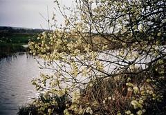 (a.pierre4840) Tags: lomo lca lomography 100asa colourfilm colorfilm 32mm f28 35mmfilm blossom river tree dorset england luminar3 fotor