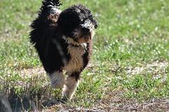 Benvinguda (esta_ahi) Tags: anoia santperedelarç santpesselaç calongedesegarra barcelona spain españa испания perro gos dog