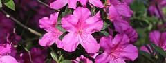 0B6A1606 (Bill Jacomet) Tags: azalea azaleas flower flowers houston tx texas 2019