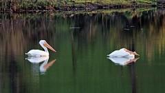 American White Pelicans (ofarrl) Tags: usa california morganhill santaclaracounty bayarea westcoast americanwhitepelican wildlife bird