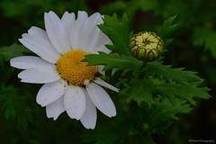Marguerite daisy... (〃‿〃✿) (Mona Zimba) Tags: daisy white flower bud nature argyranthemum marguerite