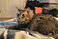 Jack Laying Down with Us (Vegan Butterfly) Tags: animal cat feline cute adorable maine coon fur furry laying down resting