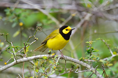 Hooded Warbler (Jays and Jets) Tags: bird birds animal animals gulfislandsnationalseashore fortpickens pensacolabeach greatfloridabirdingtrail warbler hoodedwarbler springmigration nature