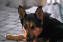 Kennedy Portrait At Dusk - IMRAN™ (ImranAnwar) Tags: germanshepherd d850 kennedy nikon sunset portrait pets water dog personality animals imrananwar bokeh gsd imran