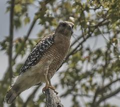 Red-shouldered hawk,  Bird Rookery (Vladimir & Elena) Tags: nature wildlife animals birds travel florida raptors redshoulderedhawkbirdrookery redshoulderedhawk birdrookery