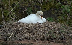 Swan nesting on the canal (Tony Worrall) Tags: swan canal swim white bird wild wildlife outdoor wet water beauty natural nice preston lancs lancashire city welovethenorth nw northwest north update place location uk england visit area attraction open stream tour country item greatbritain britain english british gb capture buy stock sell sale outside outdoors caught photo shoot shot picture captured ilobsterit instragram photosofpreston ashtononribble ashton