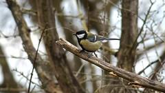 Great Tit (Nick:Wood) Tags: bird nature wildlife woodland greattit parusmajor cuttlepoolnaturereserve warwickshirewildlifetrust templebalsall