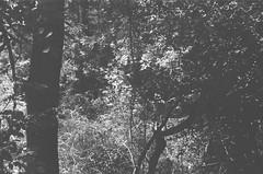 Plants (Matthew Paul Argall) Tags: spartus35fmodel400 35mmfilm blackandwhite blackandwhitefilm kentmerepan100 100isofilm plant plants