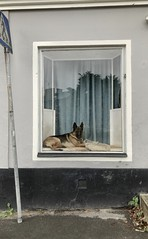 How much is that doggy in the window...? (jonwaz) Tags: perro jonwaz sweden window dog iphone reflection hund