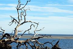 beach with fallen tree (Fido Cat) Tags: nature frippisland southcarolina birds storks woodstork herons greenheron midnightheron egret
