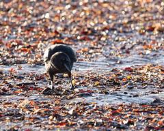 at the beach (RCB4J) Tags: corvuscorone rcb4j ronniebarron sigma150500mmf563dgoshsm sonyilca77m2 ayrshire irvinebeach nature wildlife carrioncrow black bird firthofclyde scotland art photography bokeh dxo